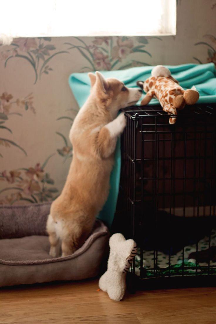 Pembroke Welsh Corgi puppy <3                                                                                                                                                                                 More #PembrokeWelshCorgipuppy