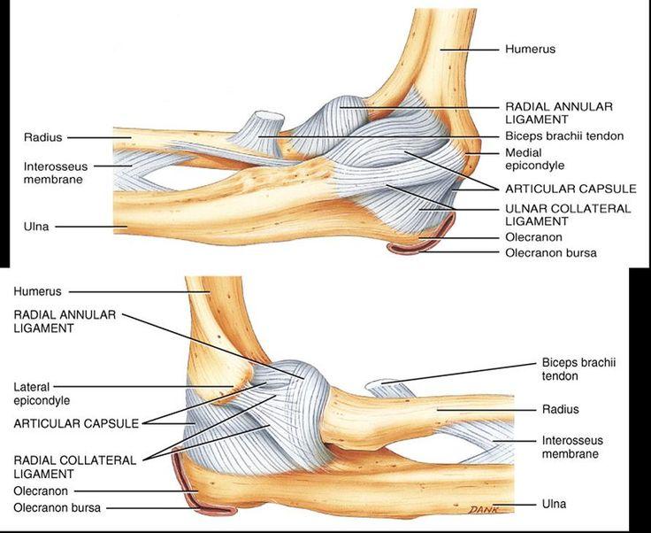 Left elbow anatomy