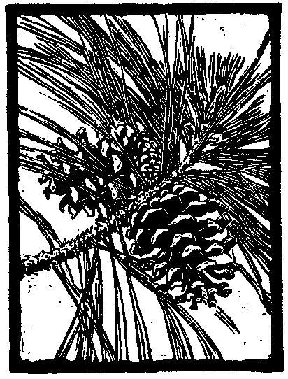 Ponderosa Pine Cones. Trees of Yosemite (1932, 1948), Mary Curry Tresidder