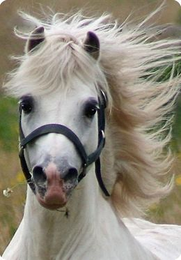 welsh pony.  The welsh have such beautiful heads! I really see it in my mare- believe she is Welsh/Morgan