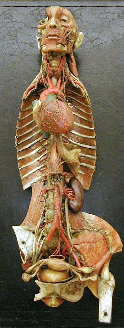Museo delle cere anatomiche L. Cattaneo #francescarossi #restauro #cere #cera #cereanatomiche www.rossirestauro.com
