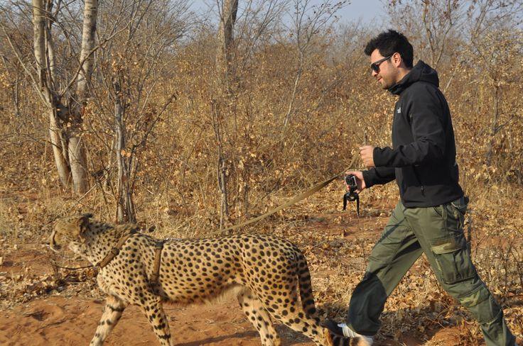 walking with Cheetas - Wild Life - Cat - Livingstone Zambia