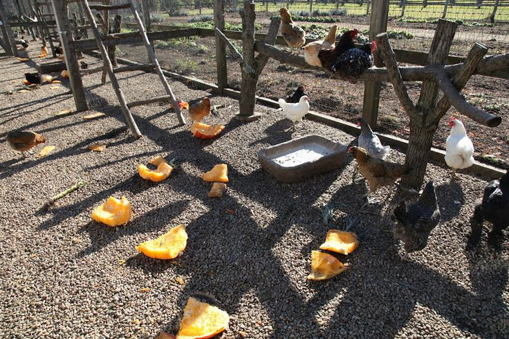 Natural worming-what to feed chickens to help prevent internal parasites worms(graphic pic)