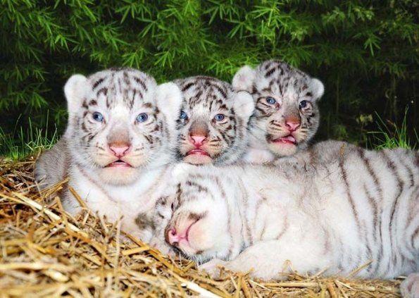 Nacieron cuatrillizos de tigre de Bengala blanco en zoo de Buenos Aires - Mundo Curioso - ABC Color