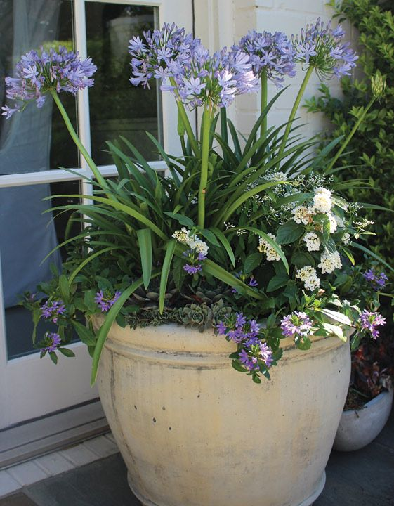 Container planting - Agapanthus, Diamond Frost Euphorbia, White Lantana, Purple Scaevola, and Hens and Chicks. | Floralis Landscape Design