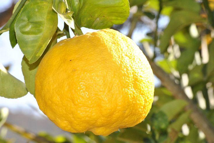 Bienfaits du citron : Le citron blanchit les dents, éclaircit les cheveux, facilite la digestion… Agrume miraculeux ? Nos experts démêlent le vrai du faux.