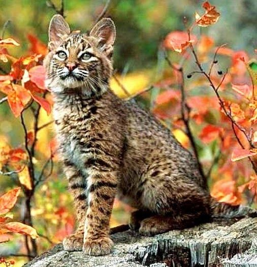 Andean mountain cat   The Andean cat is considered to be one of the most endangered wild cats in the world and perhaps the rarest South American felid, and yet is one of the least known cat species