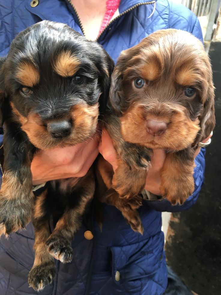 Beautiful litter of show cocker spaniels. Sire is tested PRA clear. Parents can both be seen. Chocolate and tan, Black and Tan and golden. Call or ema...