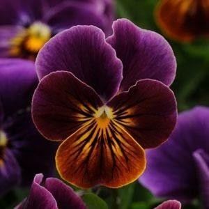 Sorbet Antique Shades Viola - Annual Flower Seeds