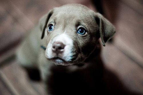 .Labrador Retriever, Baby Blue, Eye Colors, Puppies Dogs Eye, Pitbull, Puppies Eye, Pit Bull, Blue Eye, Puppies Face