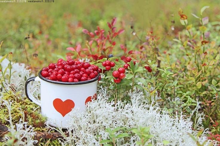 Lingonberry - Puolukka