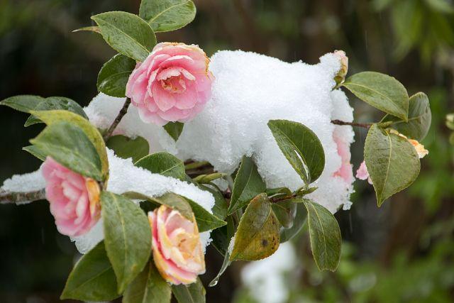 ボタンが咲く頃のなごり雪のイメージ