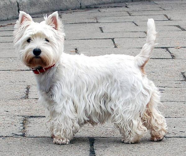 ウエスト・ハイランド・ホワイト・テリア ケアーン・テリアからしばしば白色の犬が生まれ、これを起源としている。 しばらく同一視されていた両犬種だが、1917年に完全分離された。小さいがケアーン・テリア同様力強い体つきをしている。