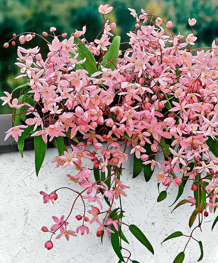 Clematis armandii 'Apple Blossom' has a powerful almond fragrance