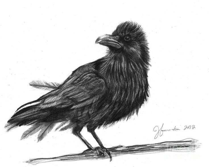 crow drawings similar galleries crow drawing raven