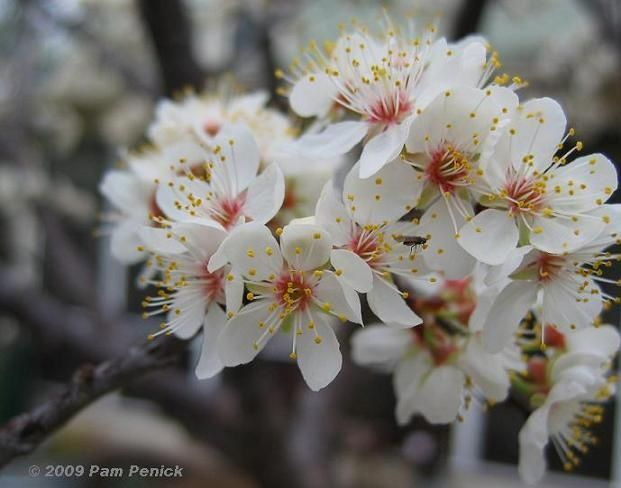 Mexican Plum Native Texas Plant Can Survive Full Sun