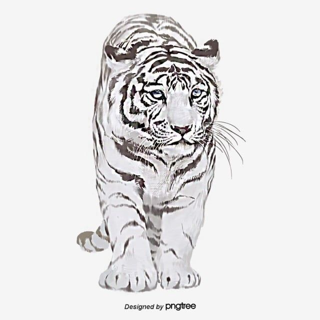 Beast White Tiger Hand Painted Illustration Elements Png And Psd Tiger Illustration Underwater Photography White Tiger Pictures