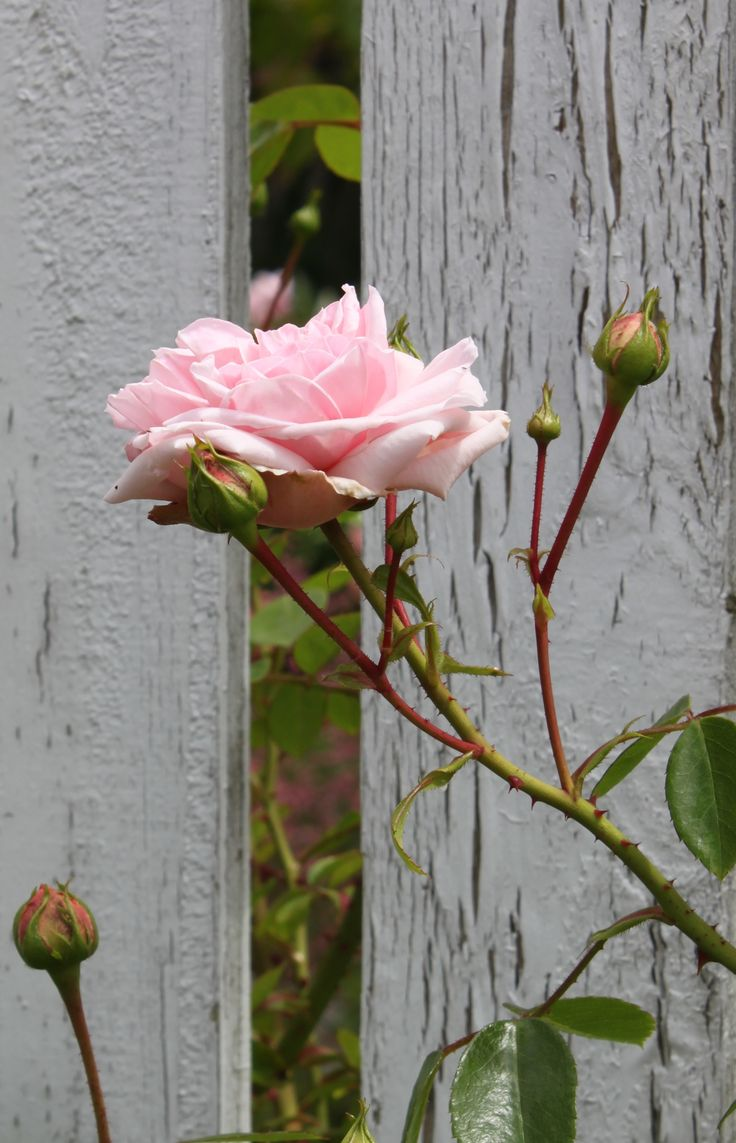 Gardens Fence, Cottages Gardens, Colors Rose, Picket Fence, Painting Colors, Beautiful Pink, Pink Rose, Cottages Colors, Cottages Rose