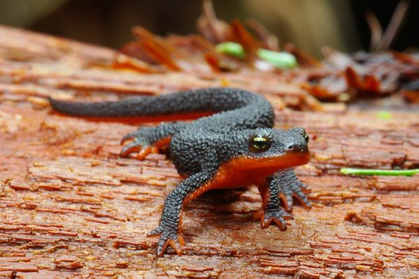 The genus Taricha consists of three species and four subspecies of western newts. All newts are part of the family Salamandridae. All species within the genus Taricha possess the biotoxin tetrodotoxin, one of the most potent toxins known to science. However, toxicity varies between species and between populations within a species. In general, the rough-skinned newt is the most toxic specie