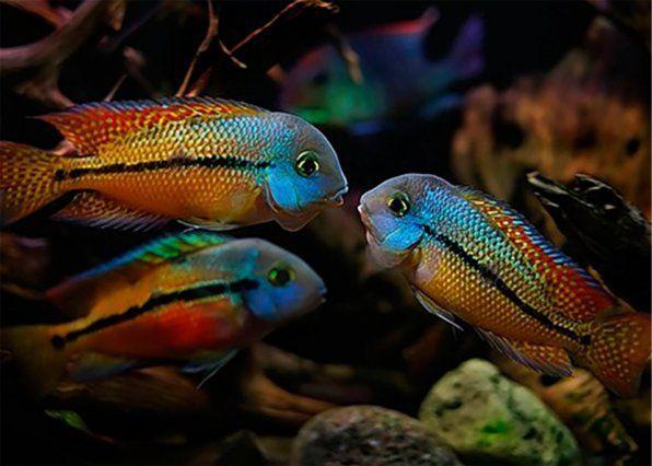 Cihlazoma Nikaraguanskaya Aquariumfreshwaterfishpictures Tropical Fish Aquarium Tropical Fish Aquarium Fish