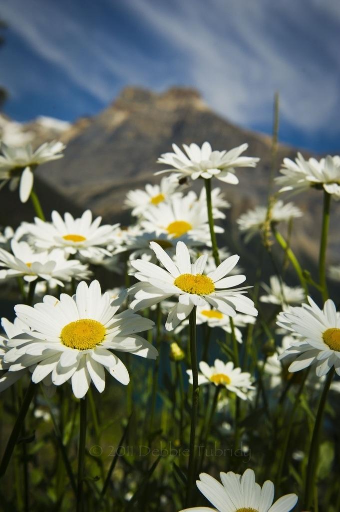 Lyric lyrics to wildwood flower : The 25+ best Wildwood flower ideas on Pinterest   William morris ...