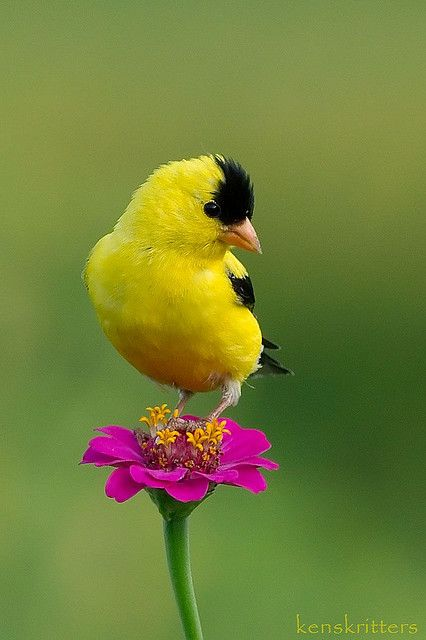 American Goldfinch (Carduelis tristis) - state bird of New Jersey