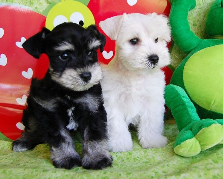 Miniature Toy Teacup Schnauzers for Sale | Toy Teacup Miniature Schnauzer Puppies #miniatureschnauzerpuppy