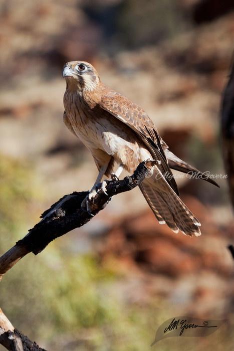 Australian Bird of Prey the Brown Falcon, taken in Alice Springs, Northern Territory.