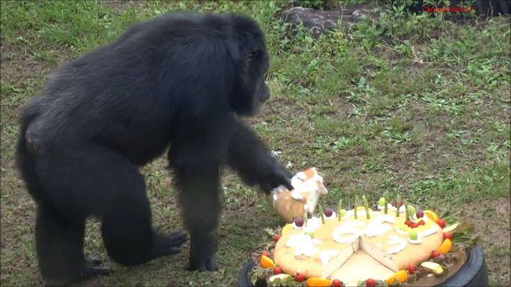 Johnny the 66-year-old chimp at Kobe Oji Zoo
