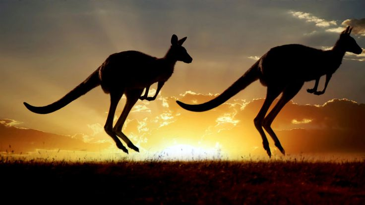 Study found kangaroos depend on their tail not for balance or as a kind of crutch to lean on, but as a muscular, very important fifth leg.
