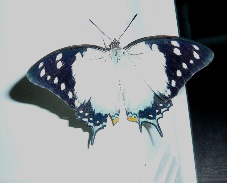 Ulysses Butterfly top 14cm wide