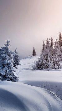 Zima śniegiem zasypała świerki