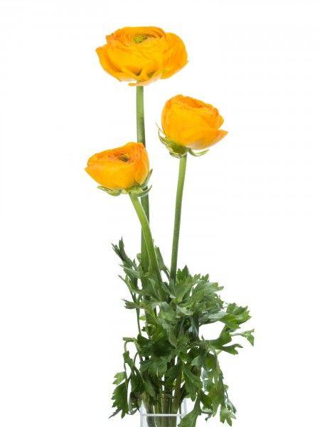 Gelbe Ranunkeln in großen Blüten in XXL - jetzt mehr entdecken auf ...