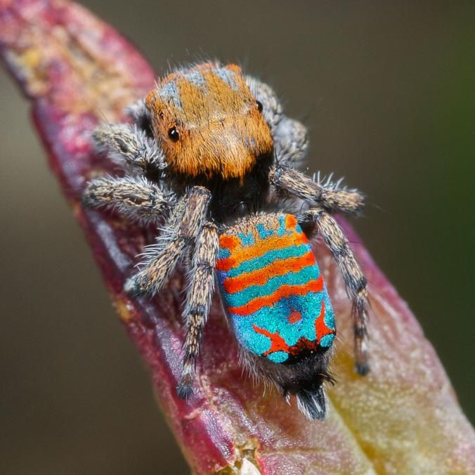 "Picture of a peacock spider called Sparklemuffin - The new ""Sparklemuffin"" species, Maratus jactatus, is found only in Australia."