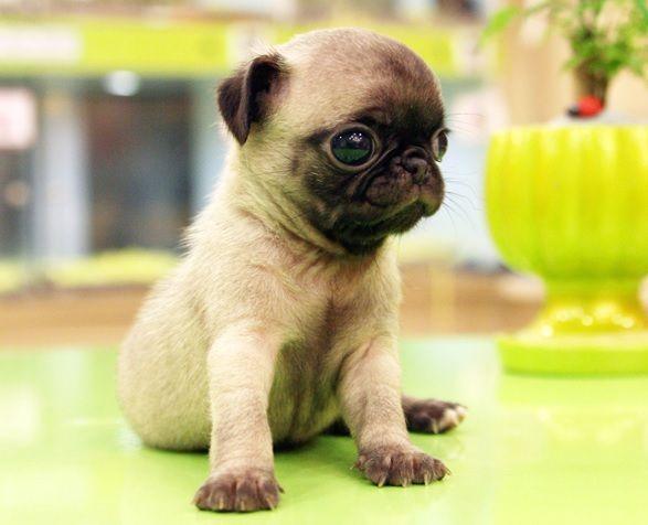 mini pugs - Google Search