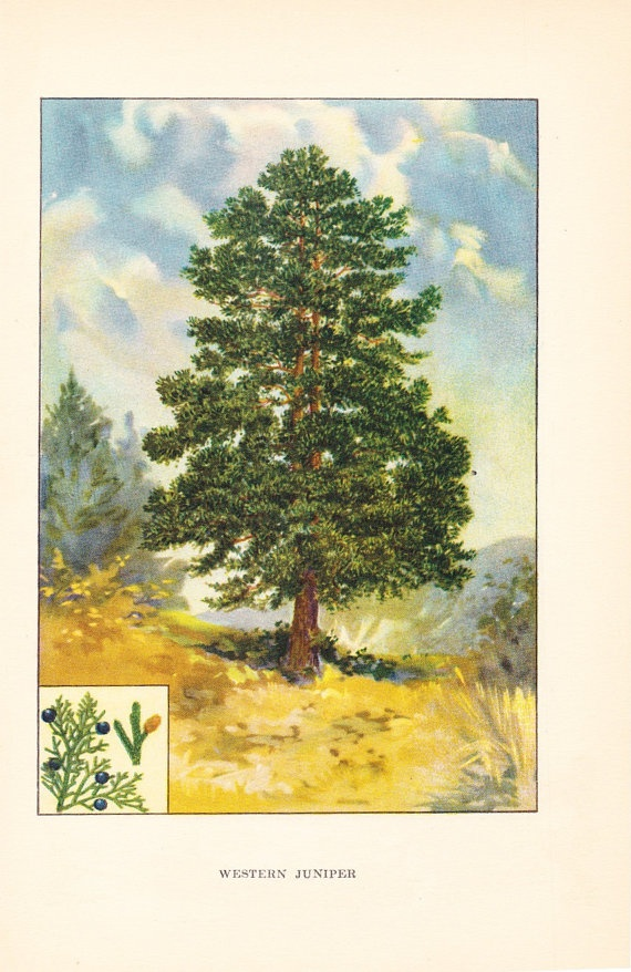 1926 Botany Print Western Juniper Tree