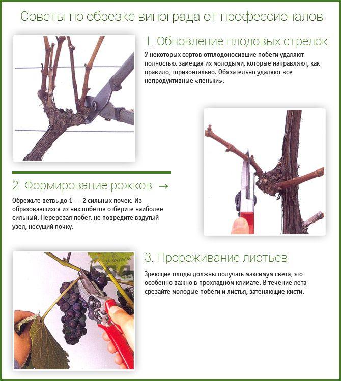 советы по обрезка винограда осенью
