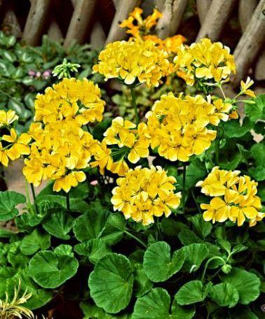 GRAFOR - FLORI SI PEISAGISTICA: Muscata Galbena- Pellargonium Yellow