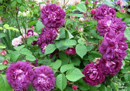 les 39 meilleures images propos de jardin roses bleu violet sur pinterest hybrides de th. Black Bedroom Furniture Sets. Home Design Ideas