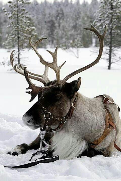 relaxing reindeer