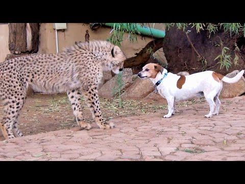 African Cheetah Cub Versus Jack Russell Terrier - Cat & Dog Fight Battle of Will - Cheetah Thug Life - YouTube