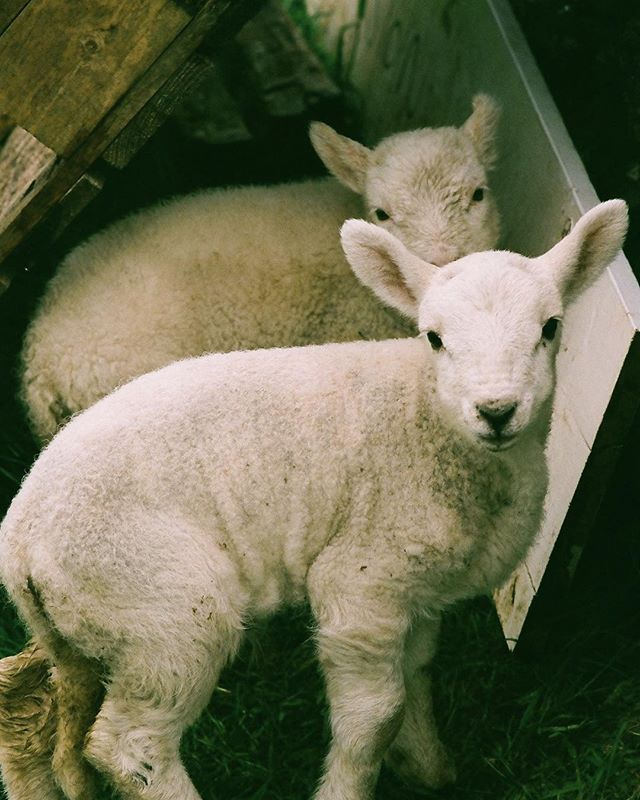 Lambs of Canna. I sat down in the mud by these two and the one in the forefront curled up in my lap like a cat.     #filmisnotdead #shootfilm #filmphotography #filmstagram #filmcommunity #35mm #lovefilm #analogphotography  #ocean #lamb
