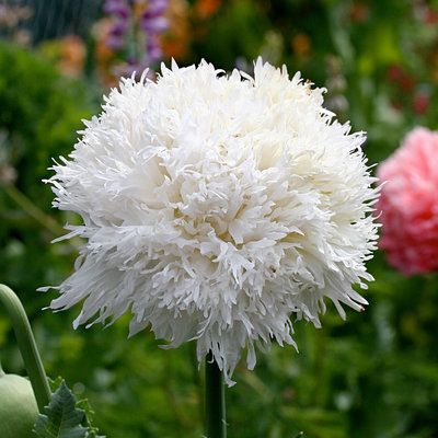 Swansdown poppy