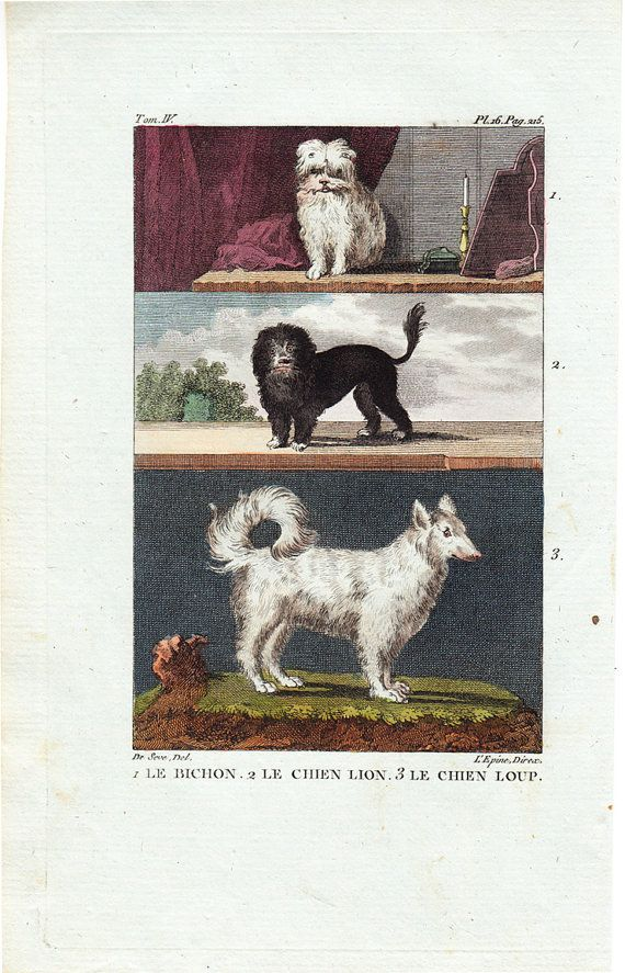 1804 Antique Bichon hand colored print. I have a Bichon Frise - fun to see the dog's in an 1800s setting. .