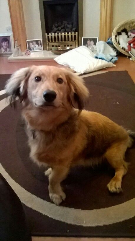 Little pose #dachshund