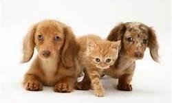 mini dachshund - Bing Images