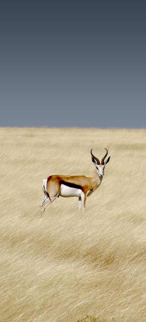 Almost too perfect. Springbok or Antidorcas Marsupialis, the national animal of South Africa.