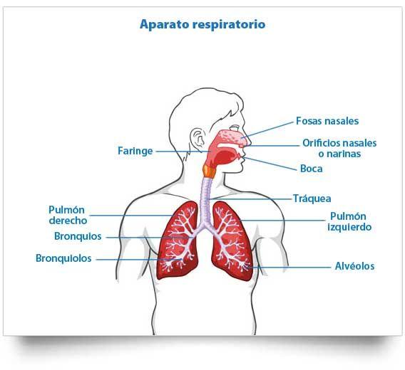 Esquema del aparato respiratorio, Órganos del aparato respiratorio