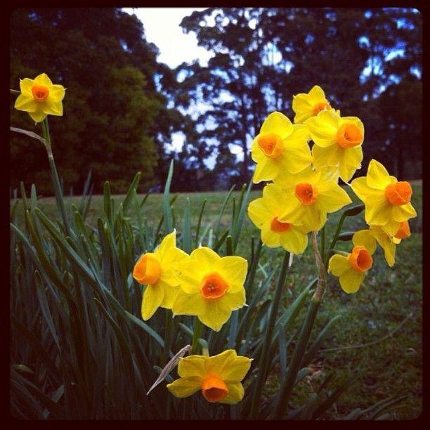 #Spring #Jonquils at #portarthurtasmania this week.