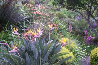 "A garden in Cape Town ""Fynbos slope in spring: Chondropetalum tectorum, Strelitzia reginae, Watsonia meriana, Watsonia borbonica, Leucospermum 'Scarlet Ribbon',   Geranium incanum."""